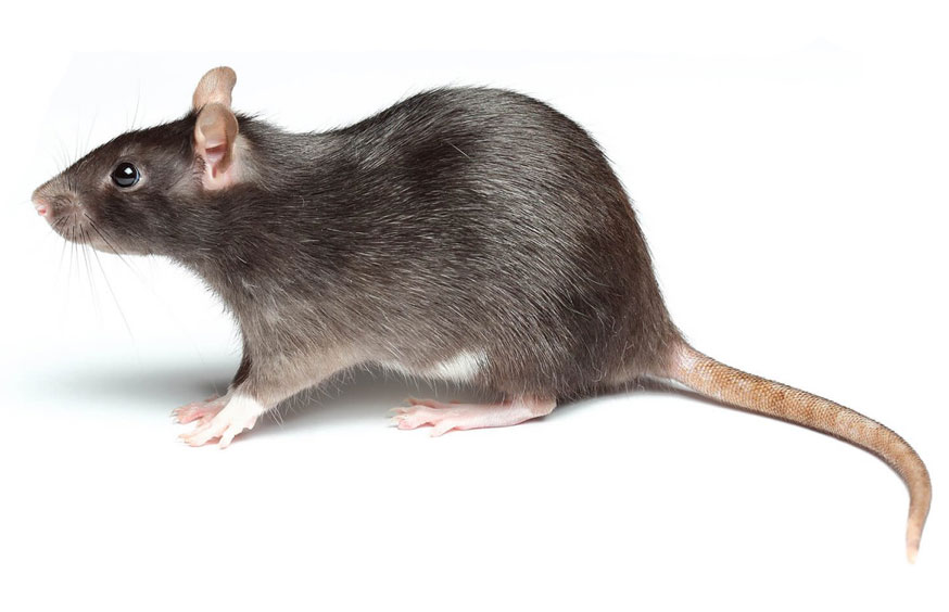 Rat & Mouse Control in California